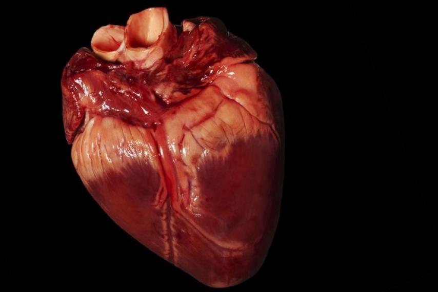 Pig Heart In Baboon Paves Way For Animal To Human Organ Transplants